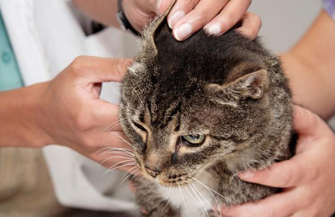 Ветеринар-дерматолог